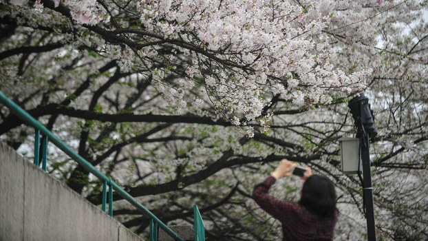 2020年3月26日,武汉的居民在拍摄樱花照片。(法新社)