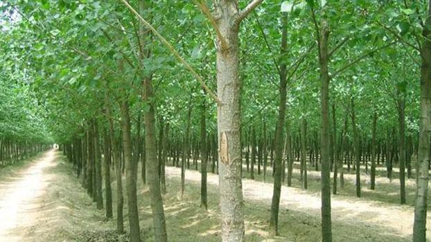 农民种植的速生杨。(Public Domain)