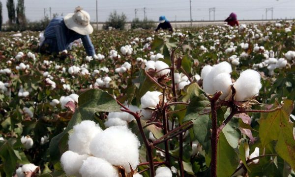 新疆的棉花地和里面工作的人们。(Public Domain)