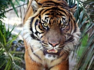 图片:7月29日是第一个全球老虎日。全球野生虎从上世纪初的10万只左右锐减到目前的大约3200只。(Photo8.com)