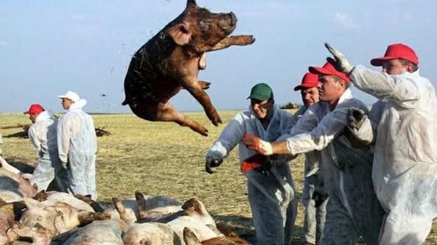 资料图片:非洲猪瘟威胁中国(Public Domain)