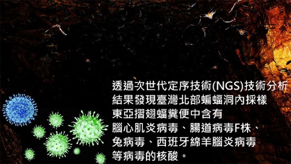 吴忠信所研究,脑心肌炎病毒可能源自生活在东亚国家的东亚折翅蝠。(吴忠信提供)