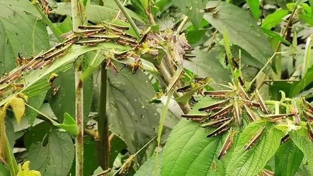 黄脊竹蝗近期从西南边境席卷而来,导致云南多地遭遇数十年来最严重的蝗虫灾害。(视频截图)