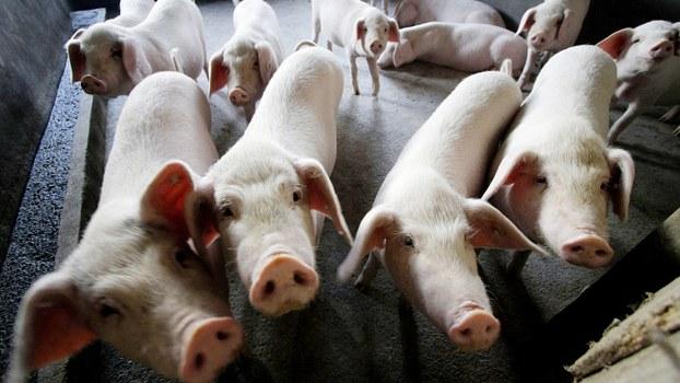 中国传出新型猪流感。图片与疫情无关。(美联社)