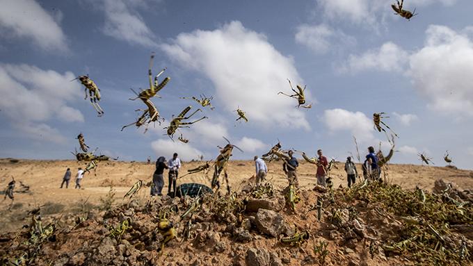 2020年2月5日,联合国粮农组织工作人员在非洲索马里考察蝗虫灾害。(美联社)