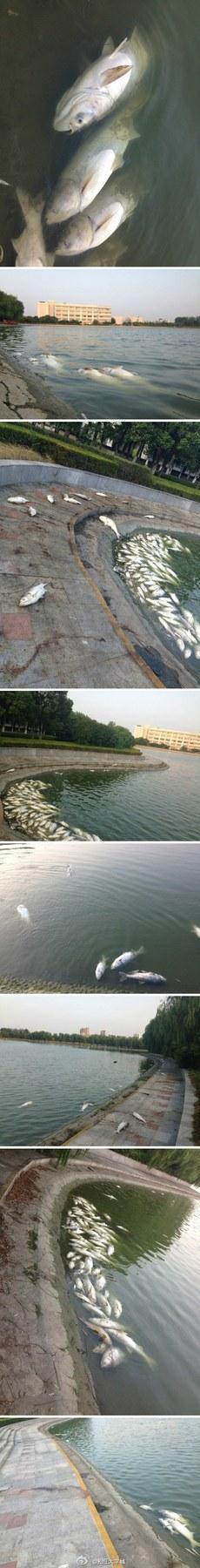 思源湖湖面飘起大量死鱼(网络图片)