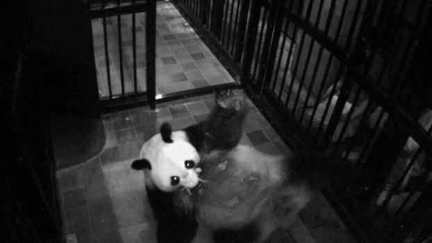 """日本东京上野动物园6月12号发布消息称,该园饲养的大熊猫""""真真""""12号上午产下一只熊猫幼崽。这是真真自2012年以来再次产下宝宝,也是上野动物园诞生的第5只熊猫。(南洲提供)"""