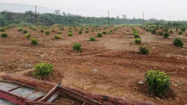 传教士墓地拆毁后被种植了植被(寒冬网)