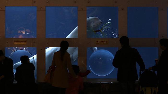 """中国海洋馆弊端丛生,从劣质场馆到不当训养,丑陋黑幕如同""""鲸豚再教育营""""。(美联社)"""