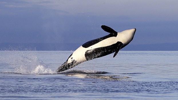 虎鲸的活动力强、社会性高,不适合圈养,中国打着教育幌子引进,预计今夏推出虎鲸表演。(美联社)
