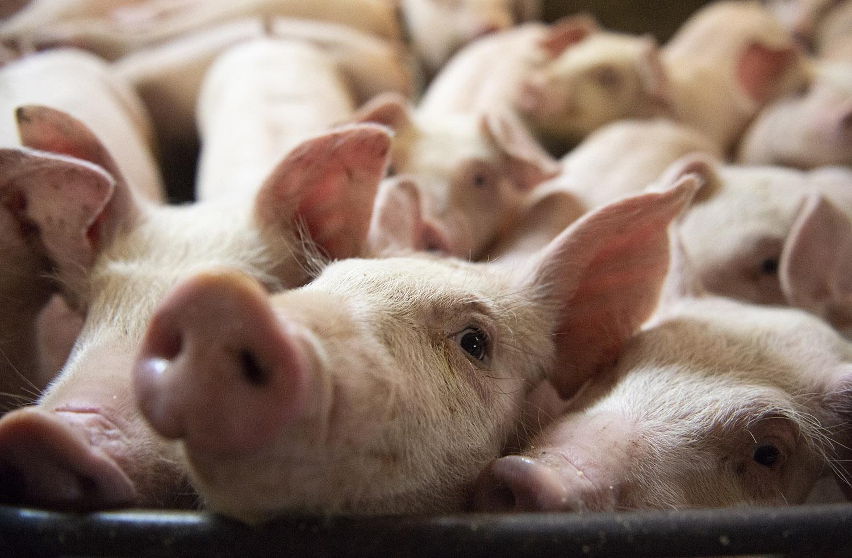 中国畜牧业的高密度饲养模式,抗生素使用量大增,也种下疫病危机。(法新社)