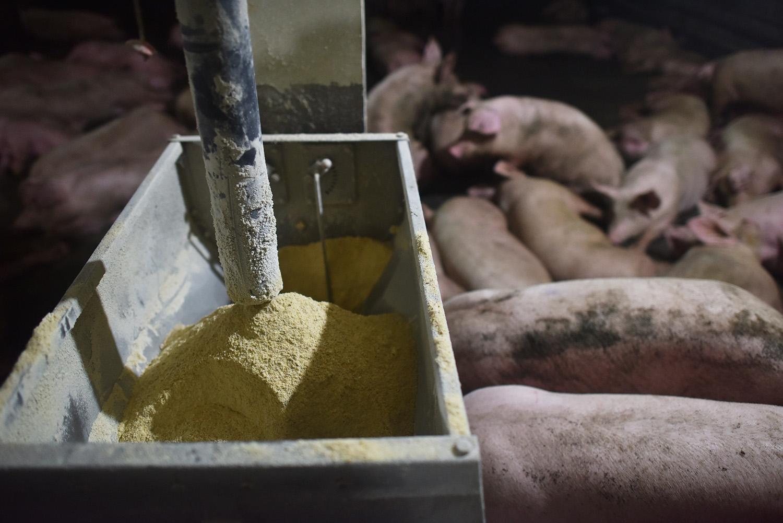今年起,中国禁止在饲料中添加促进生长类抗生素,这是纸上谈兵吗?(法新社)
