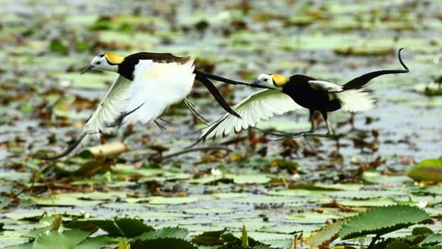 水雉喜欢栖息在菱角田,台湾光电业者相中菱角田,光电和水鸟议题,引发保育团体关注。(台南水雉生态教育园区提供)