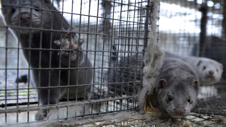 不少假睫毛原料来自水貂,中国的圈养水貂数量居全球前列。(路透社)