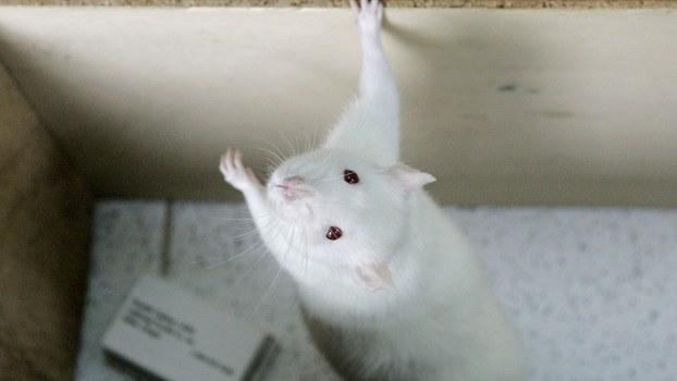 疫情下,实验动物随着人类文明发展而被过度利用,也扩大环境和健康风险。(美联社)