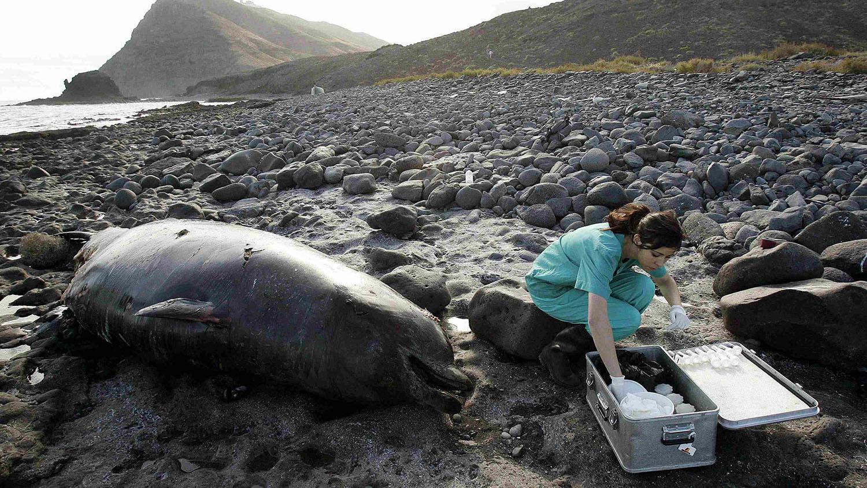 欧洲研究人员搜集搁浅鲸鱼的组织样本,推测死因可能跟北大西洋公约组织的军事活动有关。(路透社)